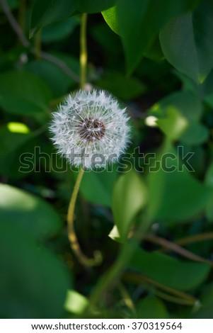 Fluffy dandelion in the foliage - stock photo
