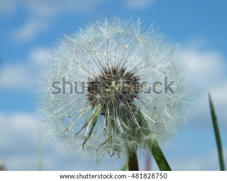 fluffy dandelion ready to fly away