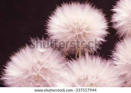 Fluffy dandelions close-up on dark background. Pink toned image. Shallow DOF, focus on seed. - stock photo