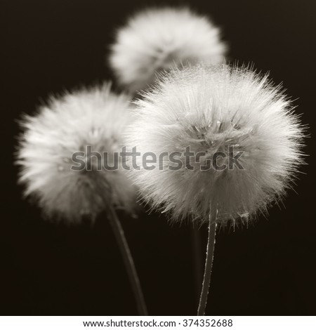 Fluffy dandelions close-up on dark background. Sepia toned image. Shallow DOF, focus on front flower. - stock photo