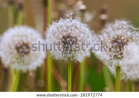 Fluffy dandelions on a field. - stock photo