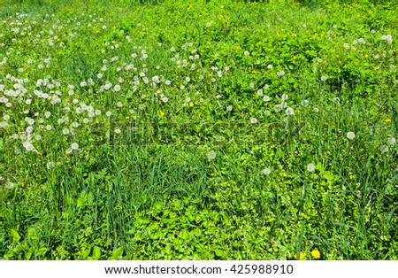 fluffy dandelions on a meadow - stock photo