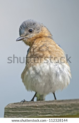 Fluffy Eastern Bluebird