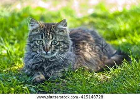 Fluffy funny cat lies in the green grass in sunny spring day