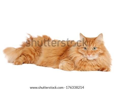 fluffy ginger cat lying isolated on white background - stock photo