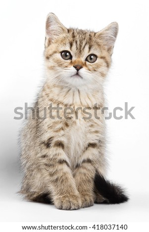 Fluffy ginger tabby kitten British cat (isolated on white)