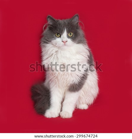 Fluffy gray and white kitten sitting on red background