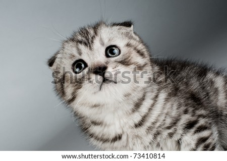fluffy gray beautiful kitten, breed scottish-fold,  closeup  portrait  on grey  background ,  lamentably look up