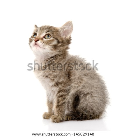 fluffy gray beautiful kitten look up. isolated on white background