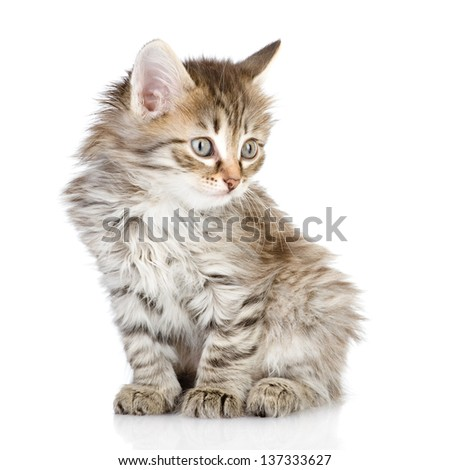 fluffy gray beautiful kitten looking away. isolated on white background