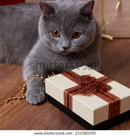 Fluffy gray british cat with Christmas  - stock photo