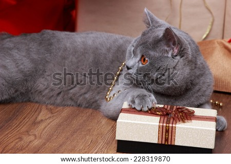 Fluffy gray british cat with Christmas gift - stock photo