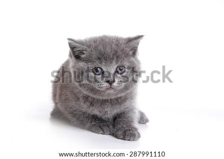 Fluffy gray British kitten (isolated on white) - stock photo