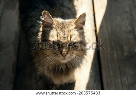 Fluffy gray cat in sunlight on the wooden floor