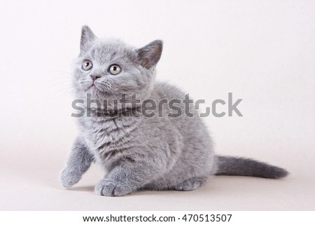Fluffy gray kitten British cat