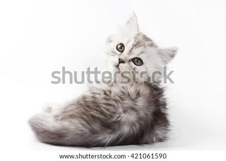 Fluffy gray kitten British cat (isolated on white) - stock photo
