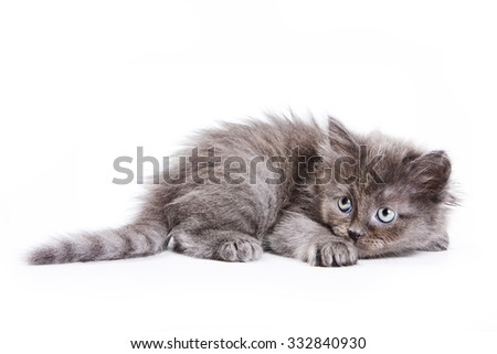 Fluffy gray kitten frightened (isolated on white) - stock photo