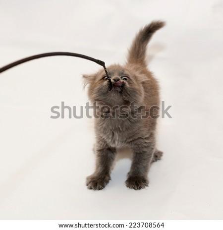 Fluffy gray kitten pulling teeth toy fishing rod on white background - stock photo