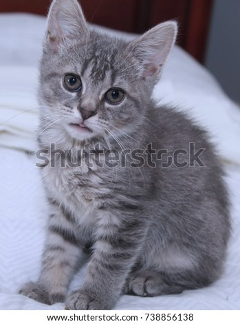FLUFFY GRAY TABBY KITTEN WITH BLUE EYES