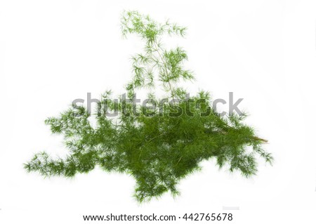 Fluffy green branches of asparagus on a white background