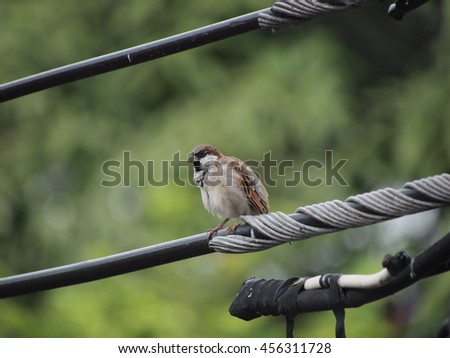 fluffy house sparrow perched on high voltage cable