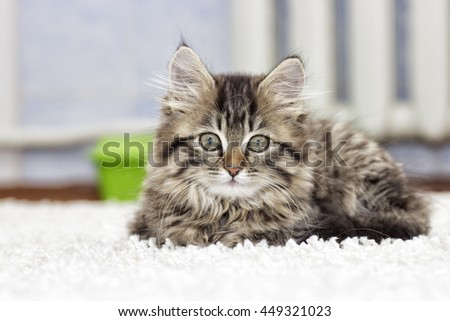 fluffy kitten on the carpet