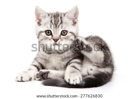 fluffy kitten sitting and looking at the camera (isolated on white) - stock photo