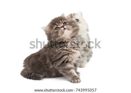 fluffy kittens isolated on white background