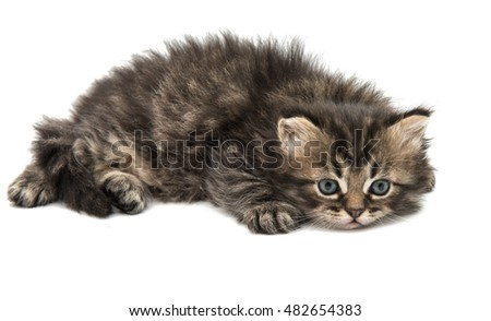 fluffy little kittens on white background