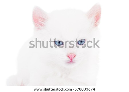 Fluffy little white kitten with blue eyes isolated background