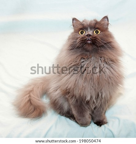 Fluffy, long-haired cat with yellow eyes sitting with paw raised on pale green background