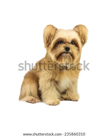 fluffy mixed breed puppy isolated in white background with clipping path - stock photo
