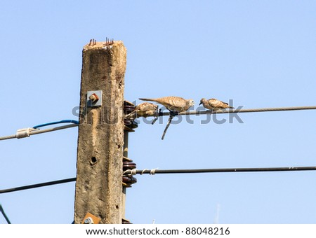 fluffy mourning dove perched On the electricity pole - stock photo