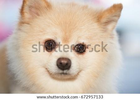 Best Pom Canine Adorable Dog - stock-photo-fluffy-pom-pomeranian-cute-dog-small-pet-friendly-672957133  Collection_748740  .jpg