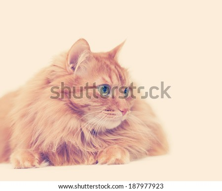 fluffy red  cat  isolated on white background, image with instagram effect