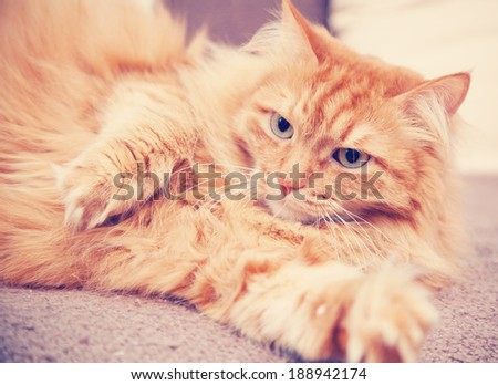 fluffy red  cat,  retro tonning image