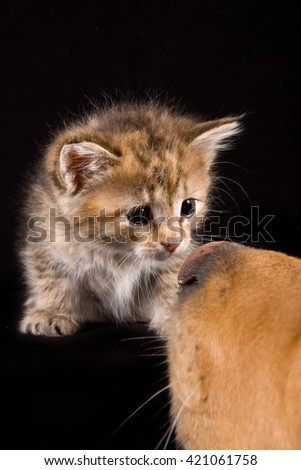 Fluffy red kitten and a dog (isolated on black) - stock photo
