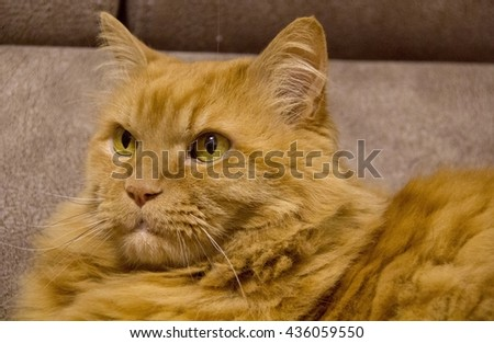 Fluffy Red persian cat with yellow eyes .Closeup