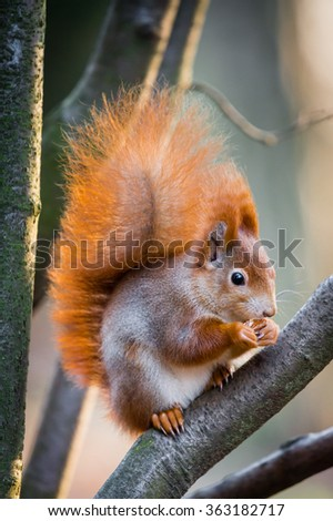 Fluffy red squirrel with winter fur sitting on the branch