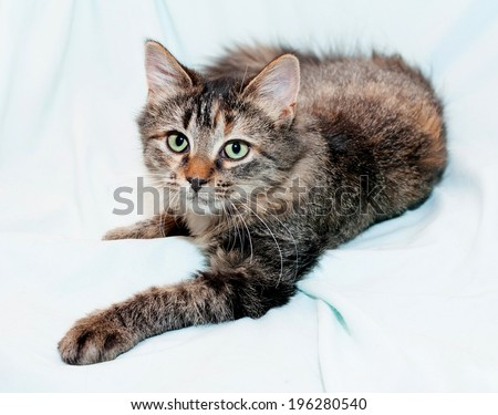 Fluffy Siberian kitten is resting in relaxed pose on white background