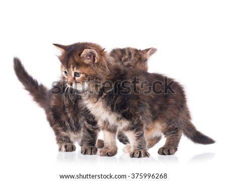 Fluffy siberian kittens isolated on white background cutout - stock photo