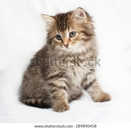 Fluffy Siberian striped kitten sitting on gray background