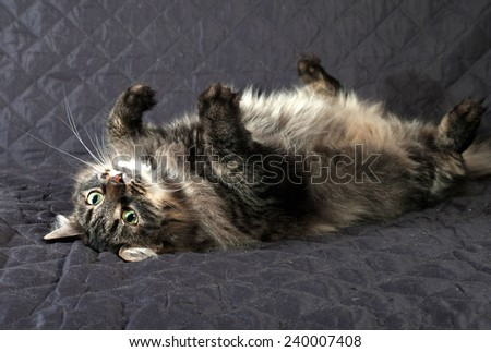 Fluffy Siberian tabby cat lying on black quilt - stock photo