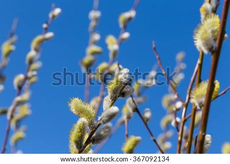 Fluffy soft willow buds in early spring - stock photo
