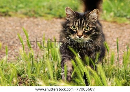 Fluffy tabby cat walking across the grass - stock photo