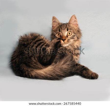 Fluffy tabby Siberian kitten lying on blue background - stock photo