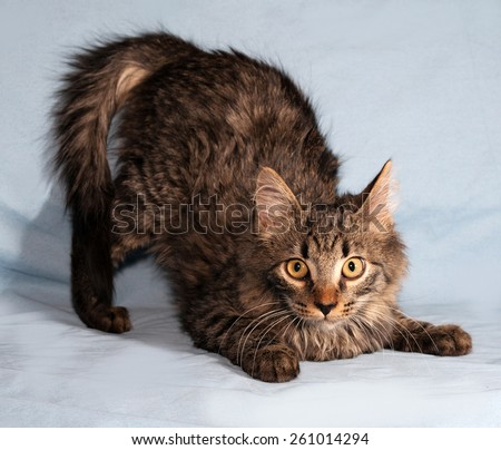 Fluffy tabby Siberian kitten standing on blue background - stock photo