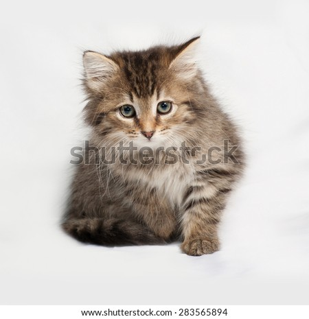 Fluffy tabby siberian kitten standing on gray background
