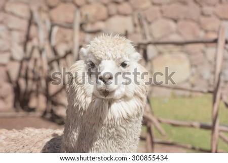 Fluffy white Alpaca/Llama - stock photo
