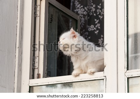 Fluffy white cat sits in the window and substituting face to the sun sniffs